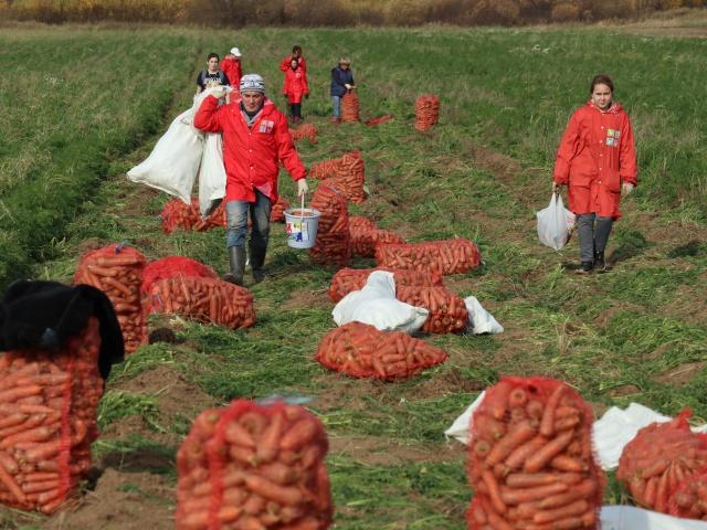 Добровольцы спасли 2 тонны моркови